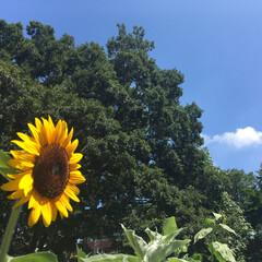 公園/ひまわり 夏といえば、ひまわり! 太陽に向かって咲…