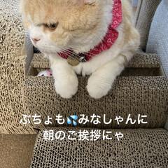 ストレッチ/動物好き/猫大好き/スコティッシュフォールド/せんぶちょ/こむぎ おはようございます(ˊᗜˋ)  すいませ…(2枚目)