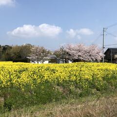春のフォト投稿キャンペーン/はじめてフォト投稿 桜も菜の花も両方楽しめるスポット発見!