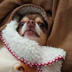 毛布/フォロー大歓迎/冬/おうち/ペット/ペット仲間募集/... 毛布にくるまり中の永遠~🐶💕