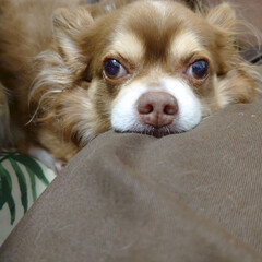 大好き/犬との暮らし/わんこ/犬 あぁ可愛い♥️ 癒しの存在♥️(1枚目)