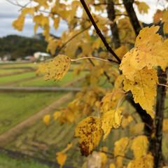 紅葉/黄色い葉/樹木/秋/風景 稲刈り後の田んぼが緑になり、樹木の黄色を…