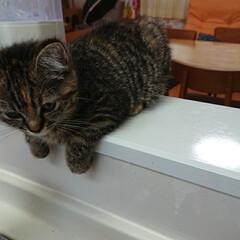 うちの子ベストショット/猫派/マンチカン/長足マンチカン/仔猫 長足マンチカンのあきなさん。生後3ヶ月……