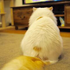 猫と暮らす/スコティッシュフォールド/LIMIAペット同好会/フォロー大歓迎/ペット/ペット仲間募集/... アポロの自慢の後ろ姿です☺️ トトロとい…