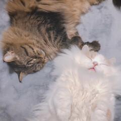 ラガマフィン/ヘソ天/スコティッシュフォールド/猫と暮らす/LIMIAペット同好会/フォロー大歓迎/... アポロとチロル  遊んでたら眠くなっちゃ…