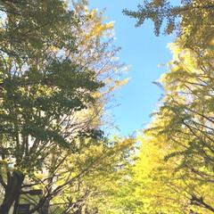 イチョウ/青山学院大学/旅行/フォロー大歓迎/秋/風景/... 青山学院のイチョウ並木と青空💞 学食行っ…