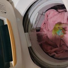 フォロー大歓迎/小桜インコ/シナモン 洗濯をし出すと必ずシナモンが水浴びに来ま…