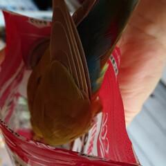フォロー大歓迎/ピーナッツ🥜/シナモン/小桜インコ 私がピーナッツ🥜を食べてるとシナモンが袋…