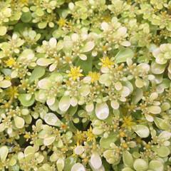 「鉢から落ちて増殖中の多肉植物にお花が咲き…」(1枚目)