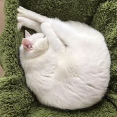 すやすや/足長ニャンモナイト/うちの妹の猫
