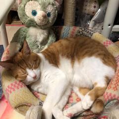 癒し/保護猫/元野良猫/茶トラ猫 久しぶりの登場です。 チャコは、2歳半過…(6枚目)