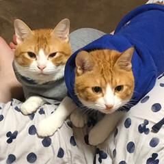 癒し/保護猫/元野良猫/茶トラ猫 久しぶりの登場です。 チャコは、2歳半過…