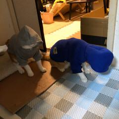 癒し/保護猫/元野良猫/茶トラ猫 久しぶりの登場です。 チャコは、2歳半過…(2枚目)