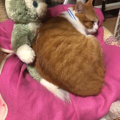癒し/保護猫/元野良猫/茶トラ猫 久しぶりの登場です。 チャコは、2歳半過…(7枚目)