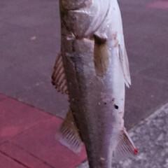 スズキ/シーバス/釣り 南港へ釣りに行って来ました この魚は関西…(2枚目)
