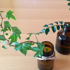 空き瓶/グリーンのある暮らし/おうち 薬の空き瓶にミニ観葉植物 私的ほっこり