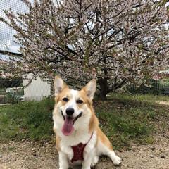 どやぁ/春なのね/桜/コーギー 桜の季節ですね❁❀✿✾ 160cmも満た…