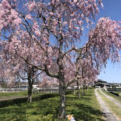 本日のベストショット/コーギー/お花見/桜/枝垂れ桜/満開 枝垂れ桜が満開🌸 わんこもお花見❁❀✿✾