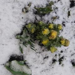 小さい春 ちょっと温かくなったと思ったのに、また雪…