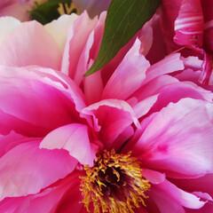 牡丹 職場にお花の差し入れが✨ 目がさめるよう…