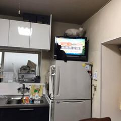 猫達のデビュー 冷蔵庫の上デビュー! とうとう登りました…