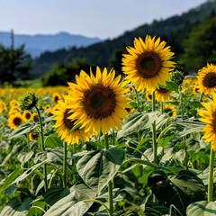我が家の恒例行事/夏の風物詩/ひまわり/夏/風景/暮らし amane家は、毎年夏になると決まって訪…