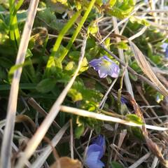 オオイヌノフグリ/小さな春/春の訪れ/風景/小さい春 小さい春み〜つけた❤  子供と行った公園…