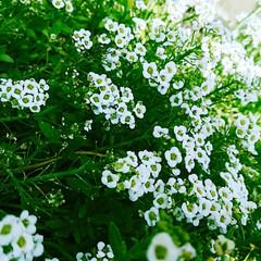 アリッサム/ガーデニング/花/花壇/風景/暮らし/... 近所にアリッサムが咲き乱れている美容院が…