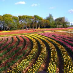 チューリップ/花/ガーデン/楽しい/わたしのGW 父母と東京から帰省した妹家族と一緒に世羅…