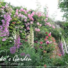 ガーデン/ガーデニング/バラ/ローズガーデン Koiko's Gardenに、今年もバ…