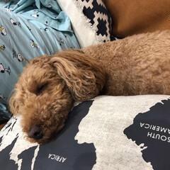 ニトリのクッションカバー/老犬と暮らす/おやすみなさい/気持ちよさそう/トイプードル/レザーソファー/... 我が家はゲージ無しで、犬たちを飼ってます…