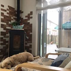ペットと暮らす/お昼寝中/お気に入りの家具/IKEAのアームチェア/ウッドデッキのある家/夏は網戸/... IKEAの椅子で爆睡中のユキチ、15歳で…