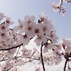 桜/サクラ 桜