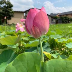 私の夏休み/霊水/蓮の花/夏野菜カレー/かき氷/おでかけ/... 今朝は寒さで目が覚め、風が涼しい朝でした…(4枚目)