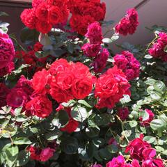 ガーデニング/薔薇/ボタニカル 出掛けて帰ってきたら 薔薇が満開に… 来…