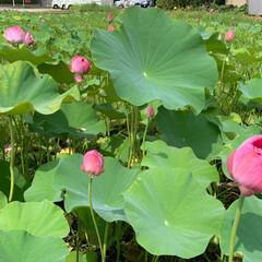 私の夏休み/霊水/蓮の花/夏野菜カレー/かき氷/おでかけ/... 今朝は寒さで目が覚め、風が涼しい朝でした…(3枚目)