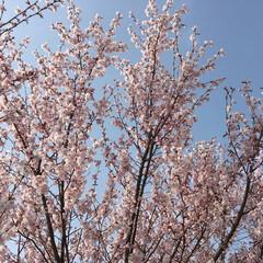 お花見 せっかく満開になったのに、雨の週末で散っ…