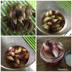 甘酢漬け/茗荷/グルメ/フード/おうちごはん 今朝採れたての茗荷 毎年恒例『茗荷の甘酢…
