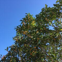 金木犀/お庭 最高気温は平年並みの24℃ 過ごしやすい…