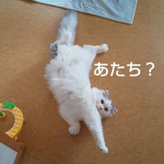 猫部/猫との暮らし/床に居座る猫/スコティッシュフォールド垂れ耳/ここみ/かわいい娘 最近、うちでよく猫が床に落ちています😅
