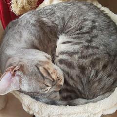 bengalcat/Bengal/ベンガル猫/ベンガルキャット/ベンガル/ママの元気のもと/... それぞれお昼寝🐈️ カイトはキャットタワ…