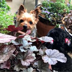 植物とペットと/ベランダガーデン/愛犬/ペット/多頭飼い/ヨーキー/... 仲良し時間は短め(^^;; 先住犬がいつ…
