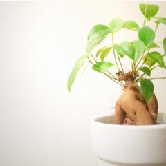 エースホーム/観葉植物/お手入れ/グリーン/日当たり/水やり/... とても育てやすく独特なカタチをした木根が…