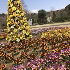 犬派/ペット/いぬのいる暮らし/花の香り/春のお散歩/お花畑/... 桜満開🌸 お家の近くの公園へシャネ君とお…(5枚目)