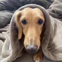 あったか毛布/お散歩行かない/寒いの嫌い/寒がりワンコ/ダックスフンド/ミニチュアダックス お犬様なのに‥😊 超寒がりなシャネ君❤️…