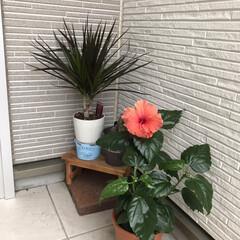 ハイビスカス/ハイビスカスの花/玄関あるある ハイビスカス🌺花が咲きました❤️😊 この…