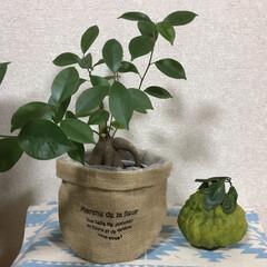 柚子湯/ジャンボ柚/リミアの冬暮らし 職場のお客様より、ジャンボ柚を頂きました…