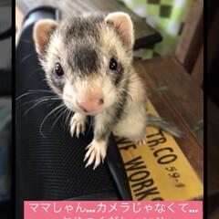 カメラ目線/おやつ/ケイたん/フェレット/秋/ペット 家族になって一年記念のフェレット♡ ケイ…