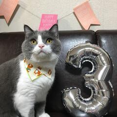 ブリティッシュショートヘア/猫 3歳おめでとう!