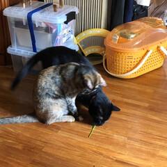にゃんこ同好会 遊んだあとの猫草の茎をまた遊んでる!めん…(4枚目)